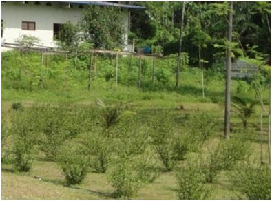 Organically grown Misai Kuchina Tea